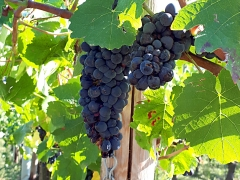 Aus Rheinland-Pfalz nicht wegzudenken: der Weinanbau