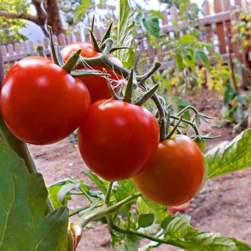 Der SHG-Schulgarten – frische Gartentomaten (Foto: Julina, 6A)